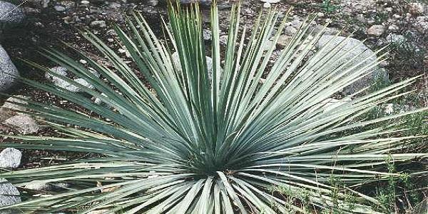 Yucca_odor_fezes